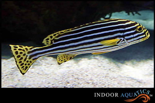 Stripe Sweetlips
