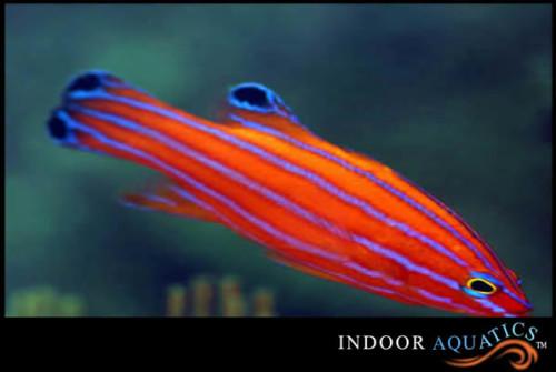 Swalesi Reef Basslet